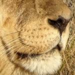 The Lion's Whisker