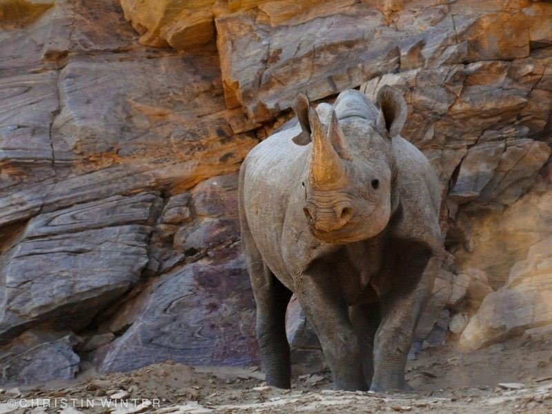 desert-rhino-tracking-Tales-from-Africa-Travel-Life-between-desert-and-sea